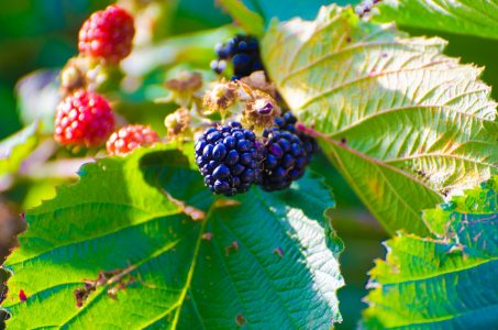 public-domain-blackberries