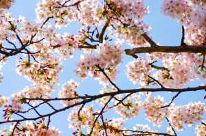public-domain-spring-blossoms