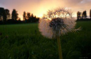 public-domain-dandelion