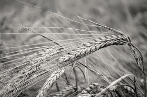 Public Domain barley