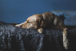 Sleeping Dog pexels